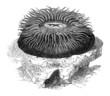 Sea Anemone - Actinie
