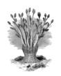 Sea Anemone - Actinie Arborescente