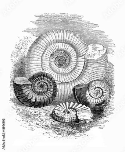 Fossils : Ammonites - 46946302