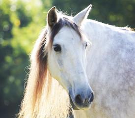 pferd,andalusier,auf der weide
