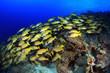 Blaustreifen-Schnapper im Korallenriff