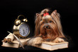 Beautiful yorkshire terrier surrounded by antiques