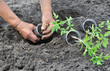 planting a tomatoes seedling