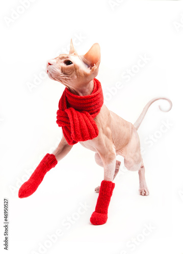 cat sphinx warm with red scarf and socks