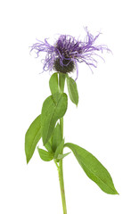 Wig knapweed, Centaurea phrygia isolated on white background