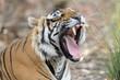 Bengal Tiger yawning.