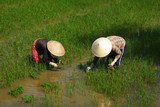 Women workers planting rice on a paddy field in Vietnam