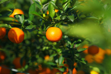 Mandarine or satsuma growing in the bush in the orchard
