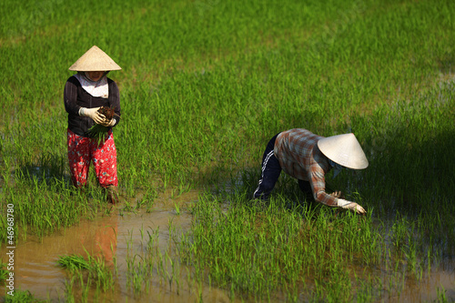 Women working on a rice paddy field in Vietnam