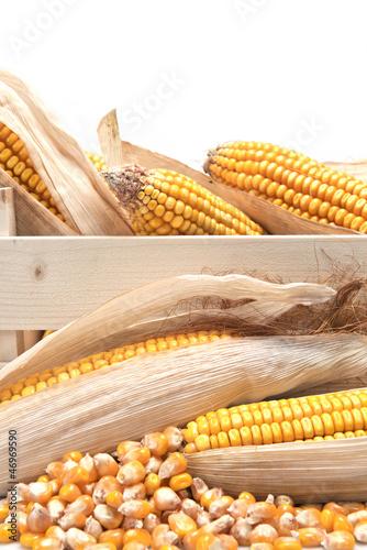 Cajón con mazorcas de maíz y granos sueltos