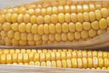 Detalle de los granos de unas mazorcas de maíz