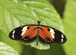 An Orange and Black Rain Forest Butterfly