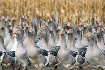 élevage d'oies en plein air  # 33