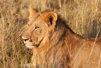 African Lion in the Maasai Mara National Park, Kenya
