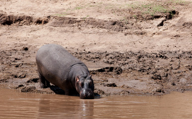Hippopotamus in the Maasai Mara reserve in Kenya, Africa