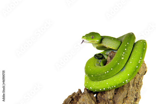 Python, Baumpython