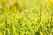 beautiful green grass with dew, close up