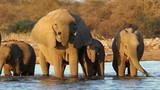 African elephants drinking water, Etosha National Park