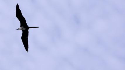 Frigate Seabird Gliding on Open Wings