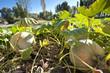 Pumpkin over the soil in a traditional vegetable garden