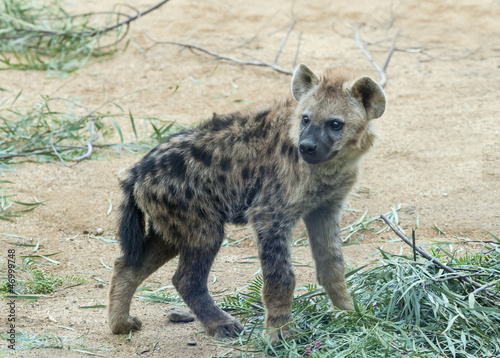 Deurstickers Hyena Close upof a Baby Spotted Hyena