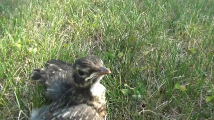 Baby Bird in Grass Flees Area