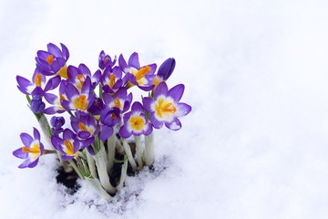 Early spring purple Crocus in snow