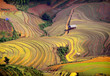 rice field on terraced. Terraced rice fields in Vietnam