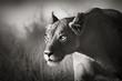Fototapeten,löwin,löwe,weiblich,portrait