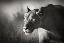 Lionne harcèlement