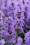 Fototapety Purple Hyssop Flowers (Hyssopus officinalis)
