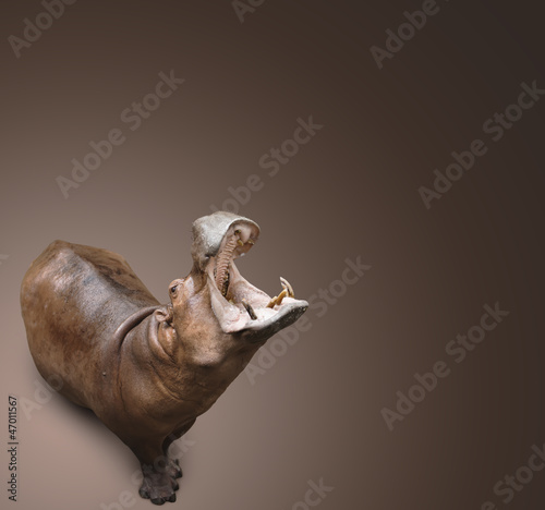 hippopotamus on brown background