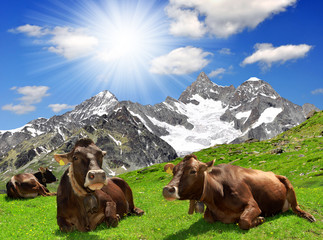 Cow lying in the meadow - Swiss Alps
