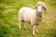 interessiertes Schaf