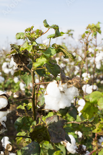 Bush cotton against cotton field