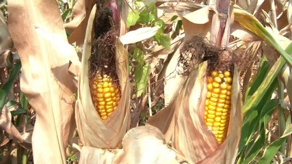 Yellow Corn in Husk Closeup