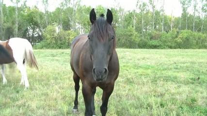 Dark Horse Staring at Camera