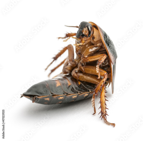 Cockroach sitting against white background