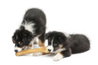 Two Australian Shepherd puppies, 2 months old, eating