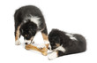 Two Australian Shepherd puppies, 2 months old, eating bone