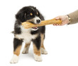 Australian Shepherd puppy, 2 months old, holding knuckle bone