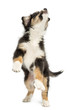 Australian Shepherd puppy, 2 months old, leaping and reaching