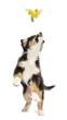 Australian Shepherd puppy, 2 months old, leaping