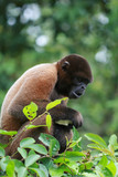 Woolly Monkey in Amazon