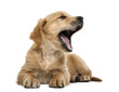 Golden retriever puppy, 7 weeks old, lying and yawning