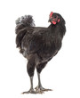 Australorp, 5 months old, against white background