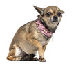 Fearful Chihuahua, 3 years old, sitting and wearing pink collar