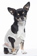 Chihuahua dressed, sitting and looking at camera