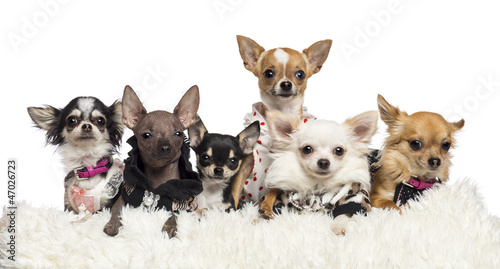 Chihuahuas dressed and lying on white fur