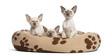 Three Oriental Shorthair kittens, sitting in cat bed